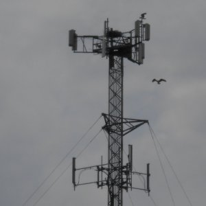 image - Cell Tower and Bald Eagles